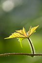 Free Green Young Leave With Sun Ray Royalty Free Stock Photo - 24898355