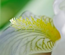 Free Petal White Iris Royalty Free Stock Photo - 24891585