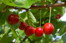 Free Cherries Royalty Free Stock Photos - 24896308