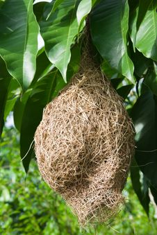 Free Bird S Nest Hanging On A Mango Tree Royalty Free Stock Photography - 24897987