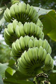 Free Green Bananas On A Tree Royalty Free Stock Image - 24898316