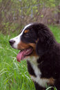 Free Puppy Bernese Mountain Dog Royalty Free Stock Photo - 2499345