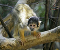 Free Common Squirrel Monkey 3 Royalty Free Stock Images - 2499609