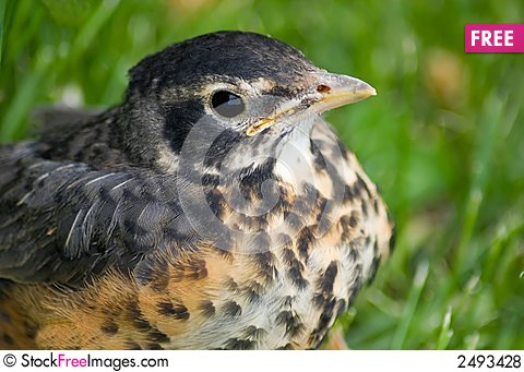 Free Juvenile Robin Royalty Free Stock Photos - 2493428