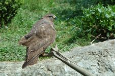 Free Eurasian Buzzard (Buteo Buteo) Royalty Free Stock Image - 2490656