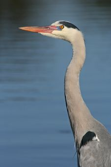 Free Portrait Of Grey Heron Stock Image - 2491641