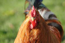 Free Cock Stock Photo - 2492020