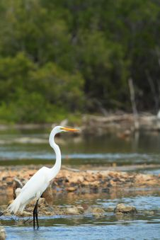 Free White Egret Royalty Free Stock Photos - 2493278