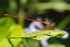 Free Red Damselfly Stock Image - 2493301