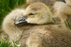Free New Geese Royalty Free Stock Images - 2493429
