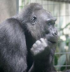 Free Gorilla 2 Stock Photos - 2495543