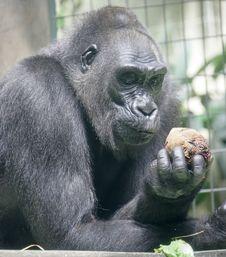 Free Gorilla 3 Royalty Free Stock Photo - 2495615