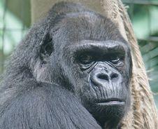 Free Gorilla 5 Stock Photo - 2495730