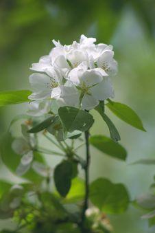 Free Spring Apple White Rose Stock Image - 2496941
