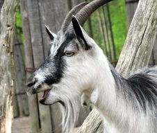 Free Goat Stock Photography - 2497592