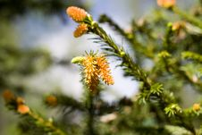 Free Fir Branches Stock Image - 2498351