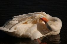 Free White Duck Royalty Free Stock Image - 2498786