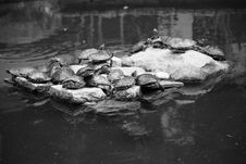 Free Group Of Turtles Sunbathing Royalty Free Stock Photos - 2499468