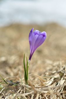 Free Spring Crocus Stock Images - 24912974
