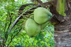 Free Coconut Tree Royalty Free Stock Images - 24915169