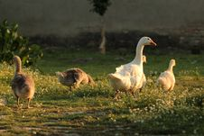 Free Geese Family Stock Photo - 24915800