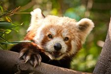 Free Panda Red Stock Photo - 24917590
