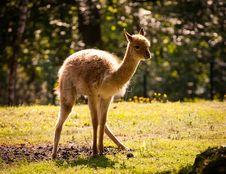 Free Llama Alpaca Royalty Free Stock Photos - 24917628