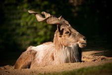 Free Goat Stock Photos - 24917643