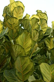 Free Leaves Of Ficus Lyrata. Stock Photography - 24920242