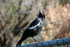 Free Australian Magpie  On Fence Stock Images - 24920794