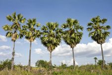 Free Five Sugar Palm Trees. Stock Photography - 24922292