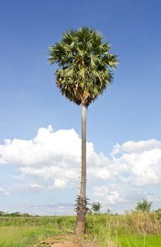 Sugar Palm On The Ridge. Stock Image