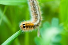 Free Caterpillar On Green Leaf Royalty Free Stock Image - 24924016