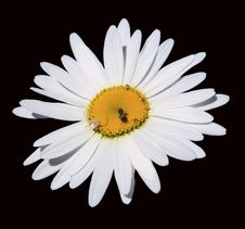 Free Chamomile Flower Isolated On Black Background Stock Photo - 24926810