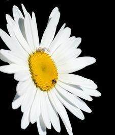 Free Chamomile Flower Isolated On Black Background Royalty Free Stock Photography - 24926817