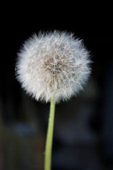 Free Dandelion Stock Photo - 24927910