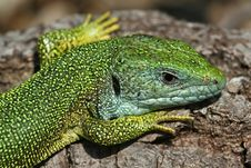 Free Green Lizard Royalty Free Stock Photos - 24928798