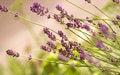 Free Lavender Bush Royalty Free Stock Photos - 24935848