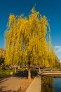 Free Weeping Willow In The Park Royalty Free Stock Photos - 24939618