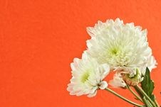 Free Chrysanthemum Flower Stock Image - 24933461