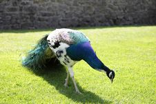 Free Peacock. Stock Image - 24934471