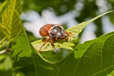 Free Chafer Stock Photography - 24935712