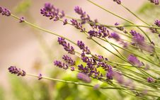 Free Lavender Bush Royalty Free Stock Photos - 24935848