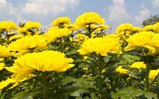 Free Yellow Chrysanthemum  Flowers Stock Photo - 24939340