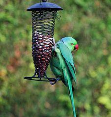 Free Ring Necked Parakeet On A Garden Feeder Stock Images - 24939614