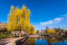 Free Weeping Willow In The Park Royalty Free Stock Images - 24939619