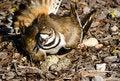 Free Killdeer Protecting Its Nest Royalty Free Stock Photos - 24943748
