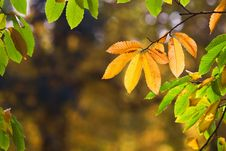 Golden Autumn Leaves Royalty Free Stock Photo