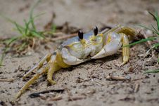 Ghost &x28;Sand&x29; Crab Royalty Free Stock Photography