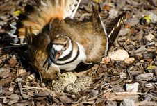 Free Killdeer Protecting Its Nest Royalty Free Stock Photos - 24943748